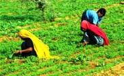 agricultura, India