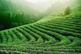 india, té, producción, aumento, precios