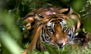 Female-Indian-Tiger-Madhy-001